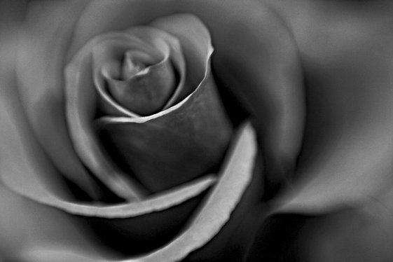 Two of a rose