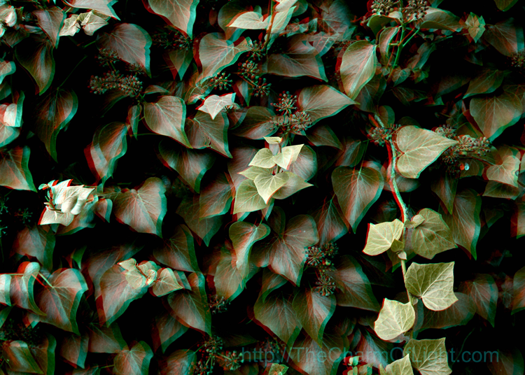 Ivy (anaglyph)
